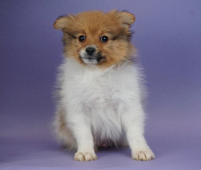 Valentino - Pomeranian - Boy