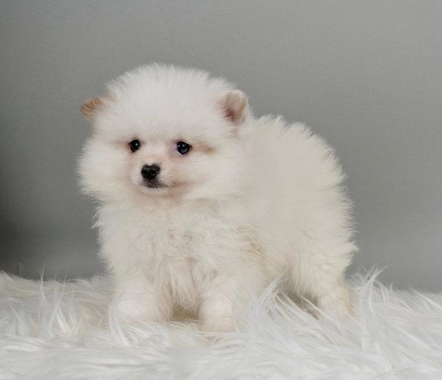 Snowball - Pomeranian - Boy