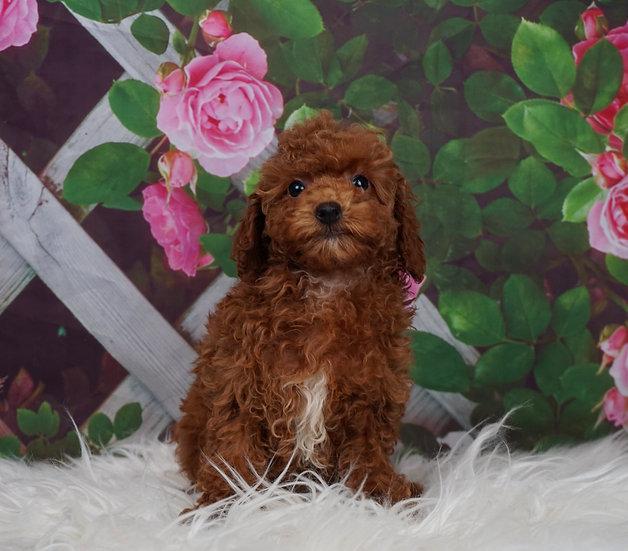Star - AKC - Miniature Poodle - Girl