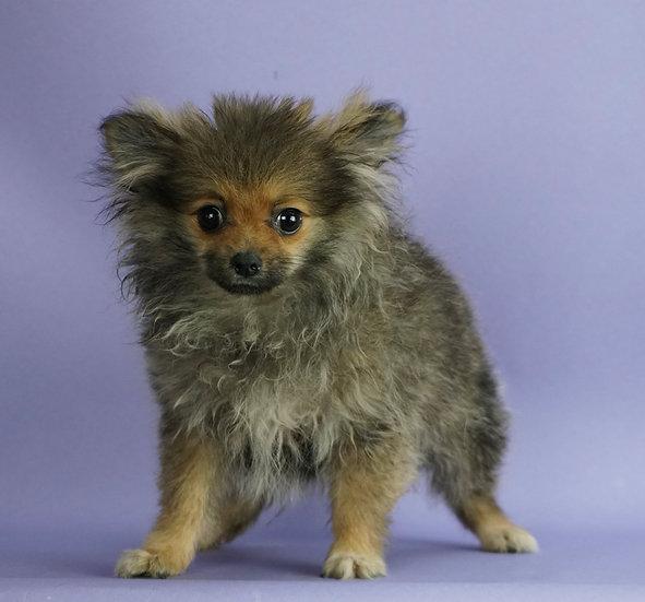 Squeek - AKC - Teacup Pomeranian - Girl