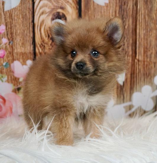 Almond - Tiny Pomeranian - Boy