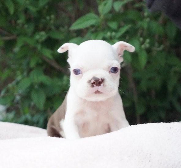 Pixie - Boston Terrier - AKC - Girl