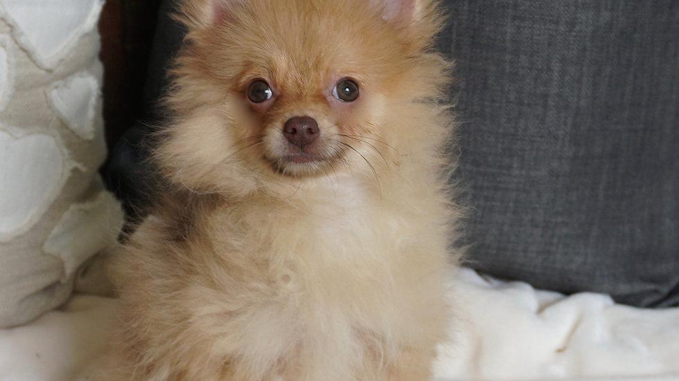 Tiny Sweet Pea - Pomeranian