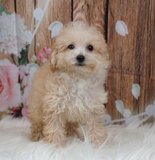 Yoshi - AKC - Toy Poodle - Boy
