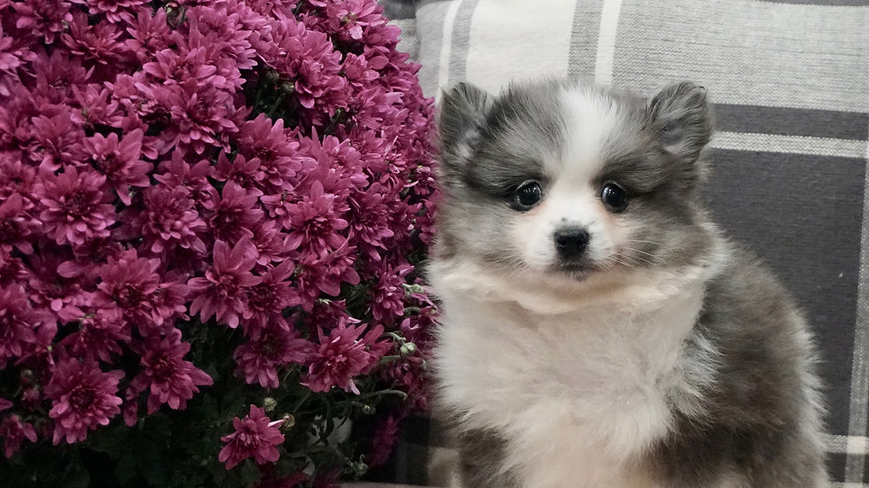 Sterling - Pomeranian