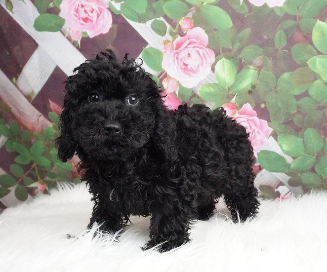 Prissy - AKC - Toy Poodle - Girl