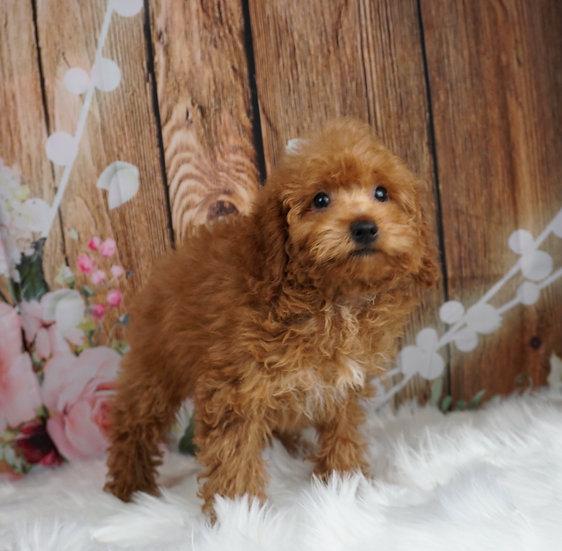 Fey - AKC - Miniature Poodle - Girl