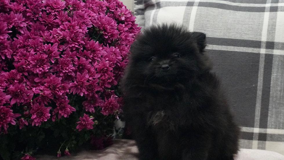 Shorty - Pomeranian