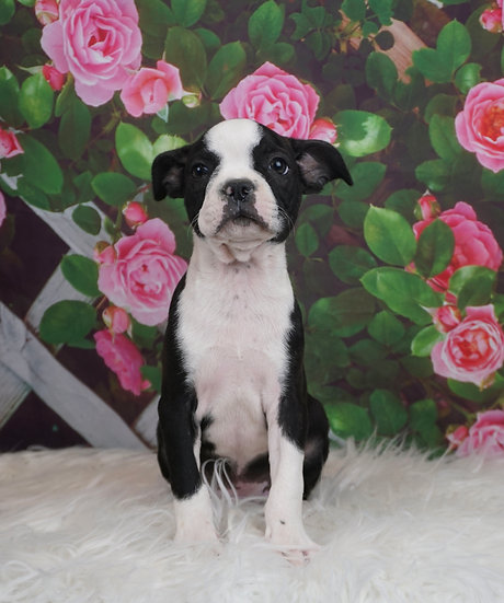 Sebastian - AKC - Boston Terrier - Boy