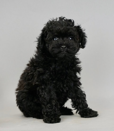 Pippy -  Toy Poodle - Girl
