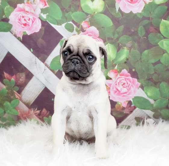 Nala - AKC - Pug - Girl