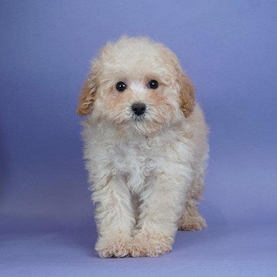 Squeek - Toy/Mini Poodle - AKC - Boy