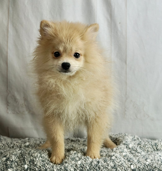 Heath - AKC - Pomeranian - Boy