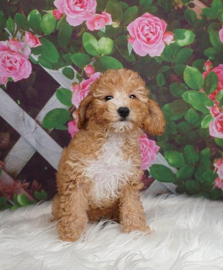 Tipsy - UABR - Miniature Poodle - Girl