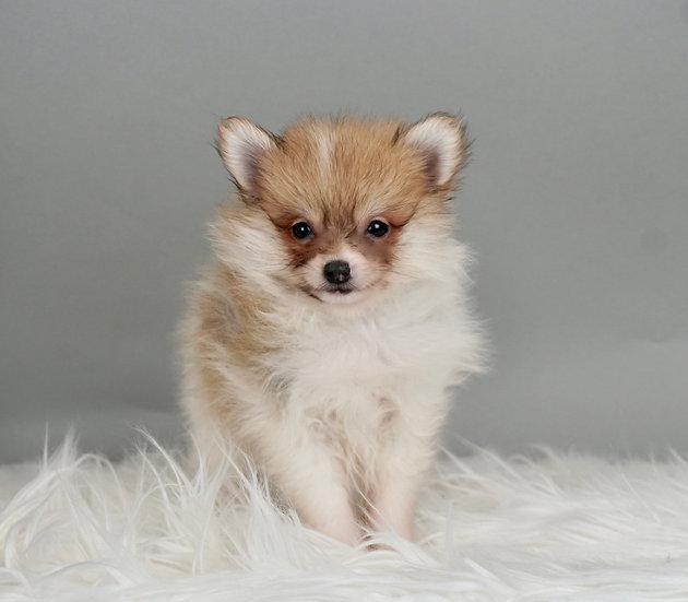 Orion - Pomeranian - AKC Boy Ready 1/17