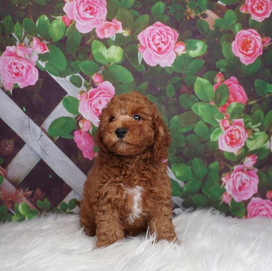 Rusty - UABR - Miniature Poodle -Boy