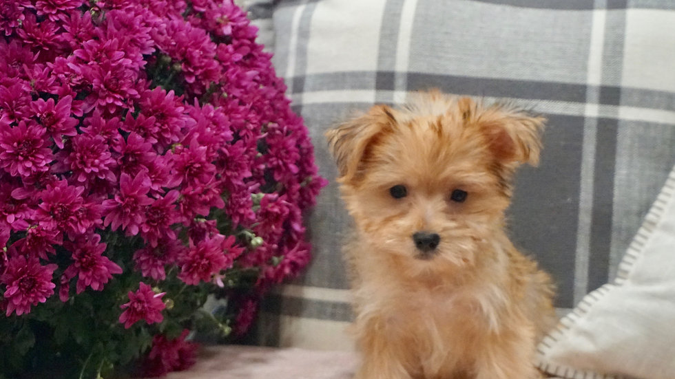 Baby - Morkie
