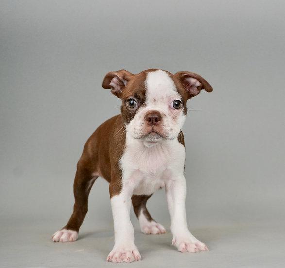 Frannie - Boston Terrier - AKC Girl