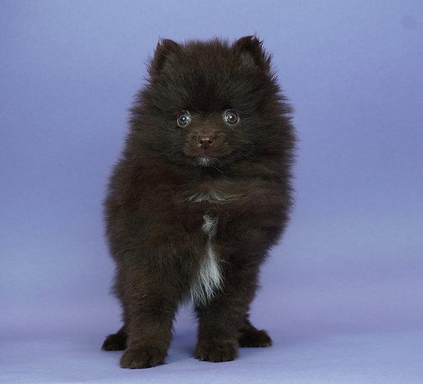 Hershey- Pomeranian- AKC- Boy