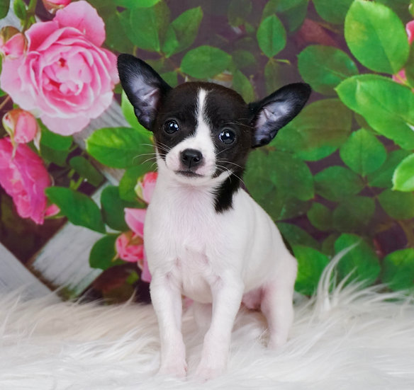 Cookie - Chihuahua - Girl