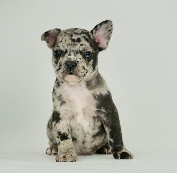 Mr. GQ  - French Bulldog - AKC Boy