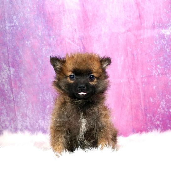 Little Mister - UABR - Teacup Pomeranian - Boy