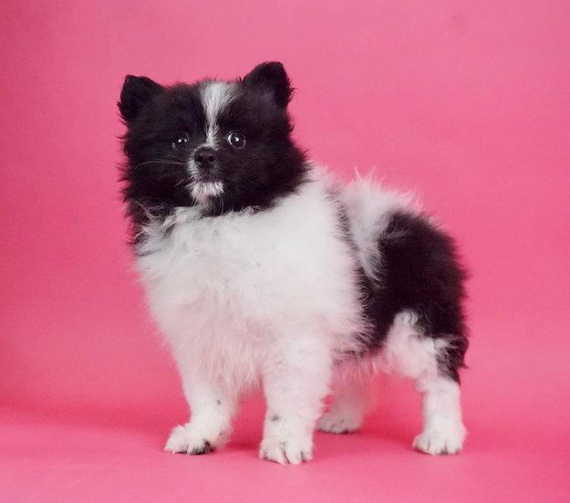 Frannie - Pomeranian - AKC - Girl