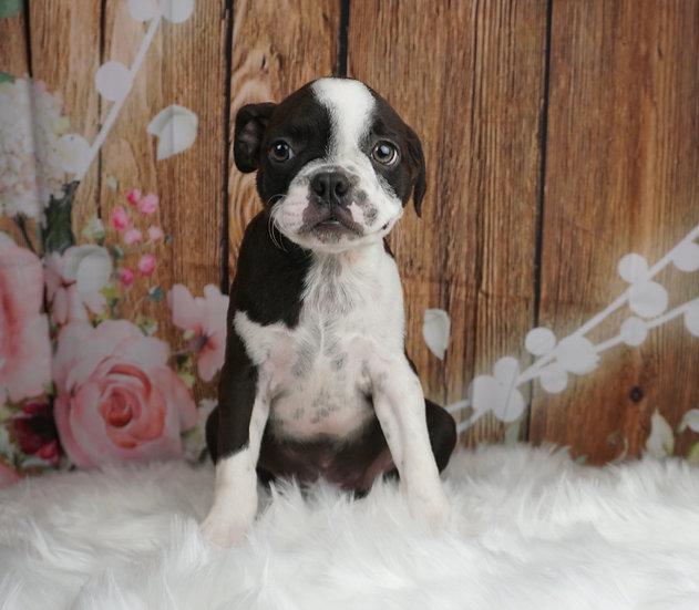 Insta - AKC - Boston Terrier - Boy