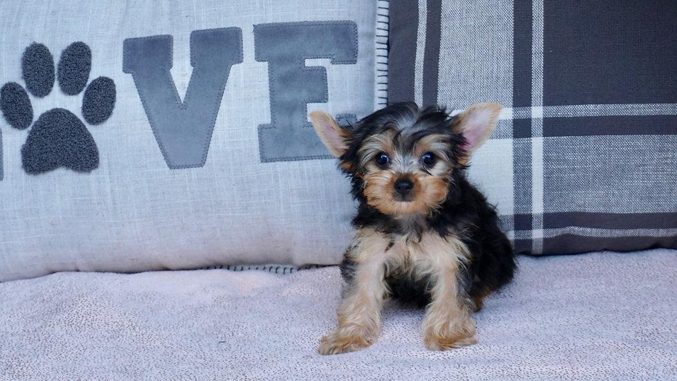 Tiny Mia - Yorkie