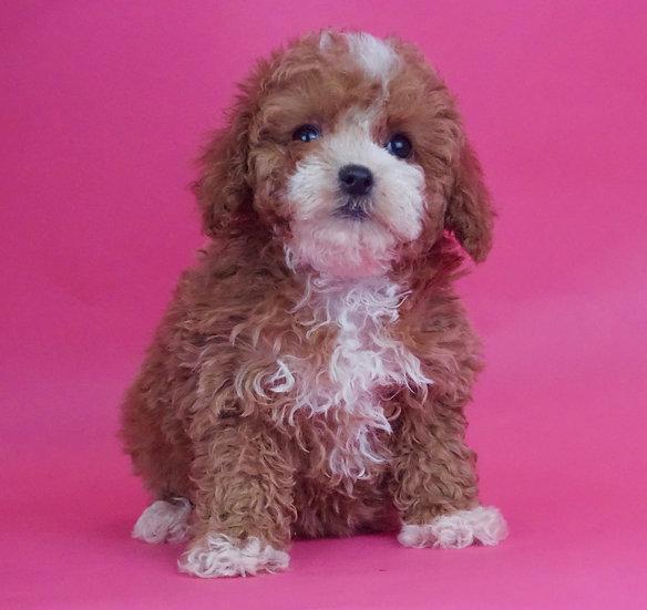 Fancy - Toy Poodle - AKC - Girl