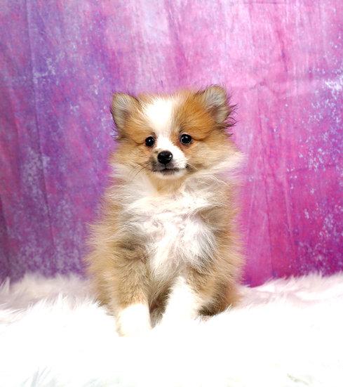 Dodge - UABR - Pomeranian - Boy
