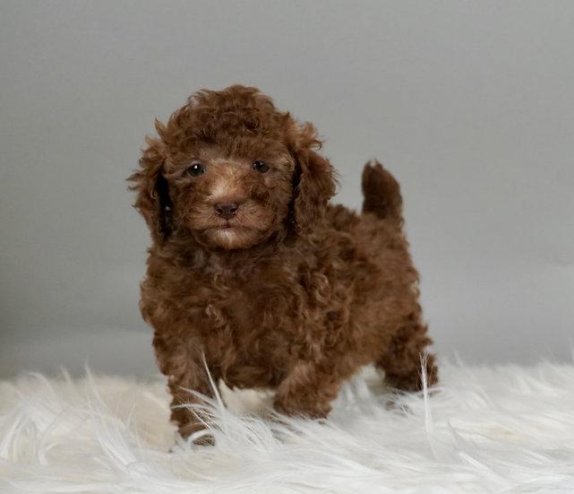 Enzo - Toy/Miniature Poodle - AKC Boy- Ready 01/17