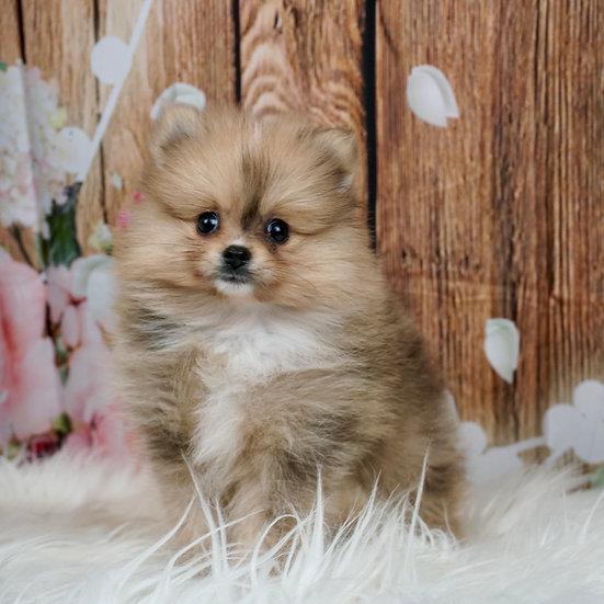 Ruby - AKC - Pomeranian - Girl