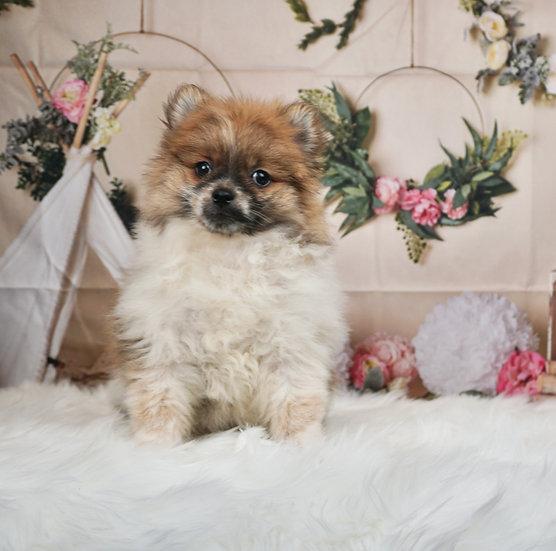Hannah - AKC - Toy Pomeranian - Girl