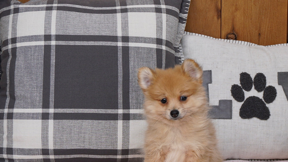 Sansa - Pomeranian