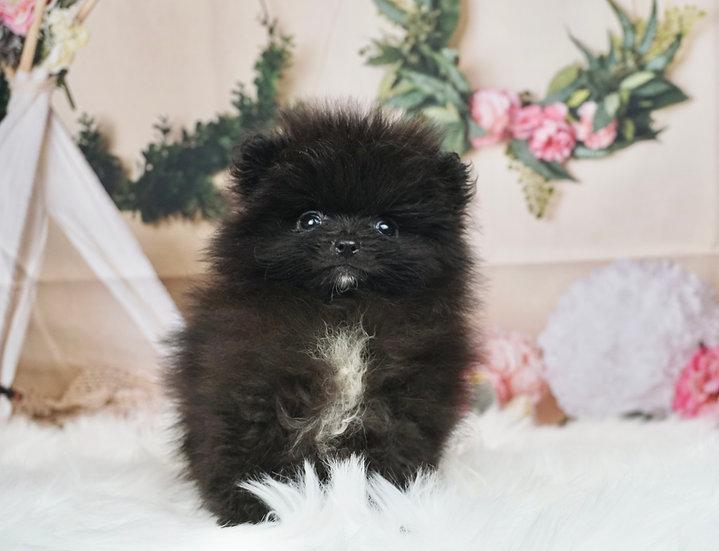 Quinten - Teacup Pomeranian - Boy