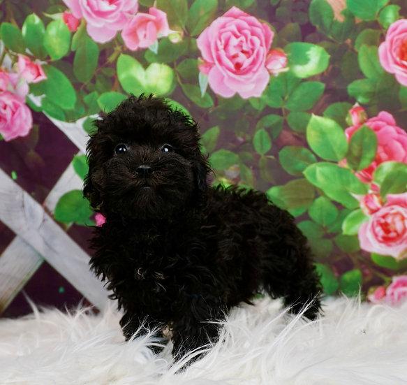 Maryetta - AKC - Miniature Poodle - Girl