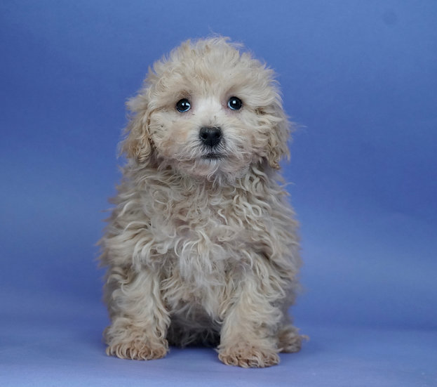 Strawberry - Toy/Mini Poodle - AKC - Girl
