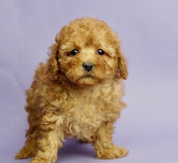 Melani - Toy/Mini Poodle - AKC - Girl