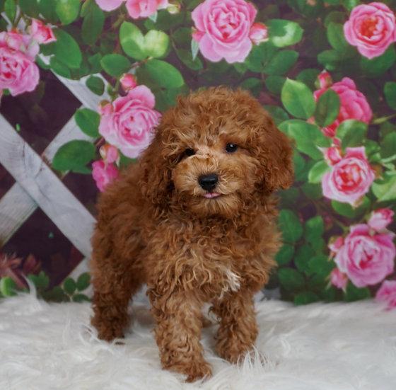 Whimsey - AKC - Miniature Poodle - Boy