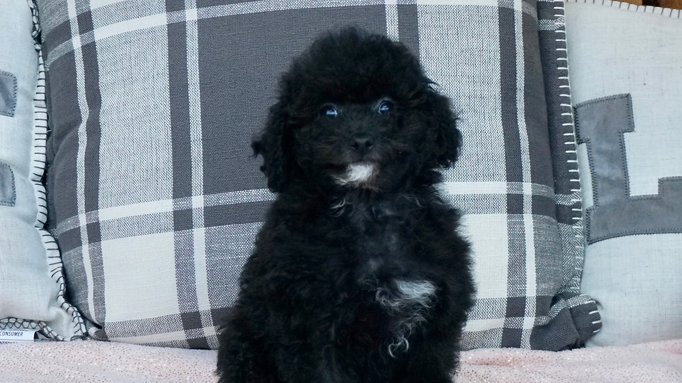 Meelo - Toy Poodle