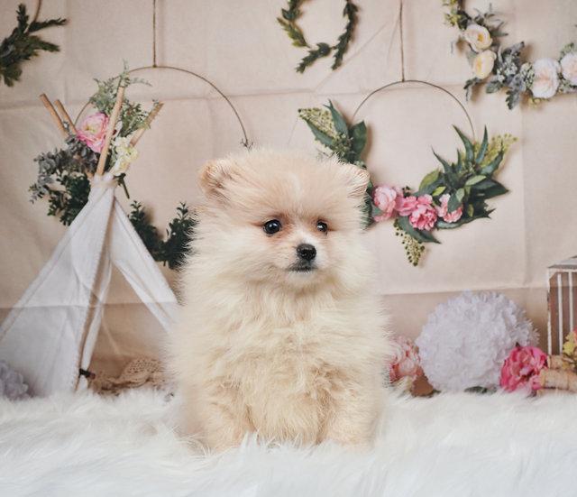Aurora - Toy Pomeranian - Girl