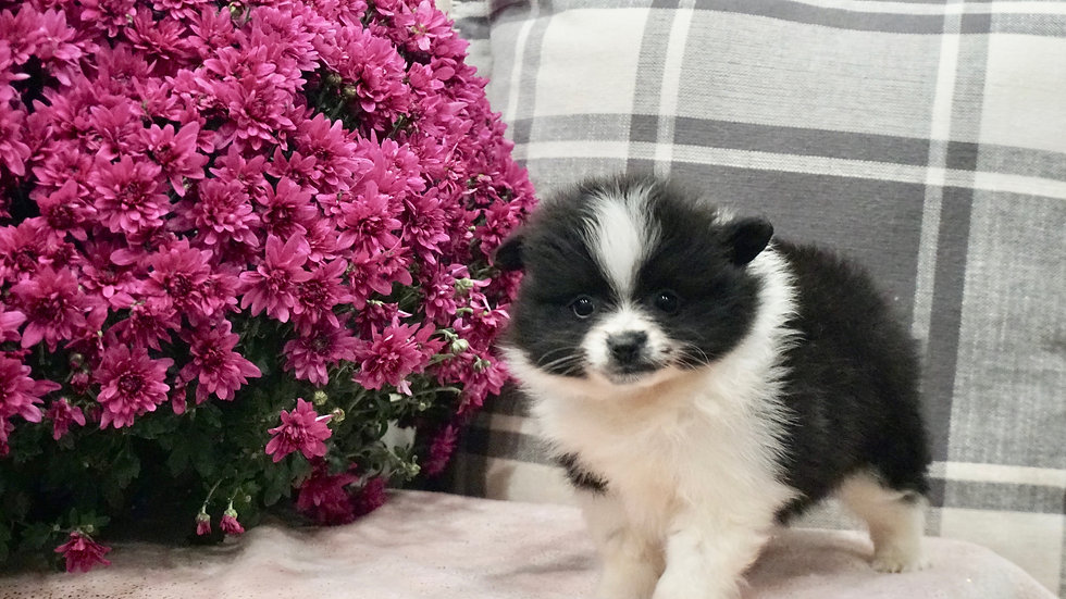 Torie - Pomeranian