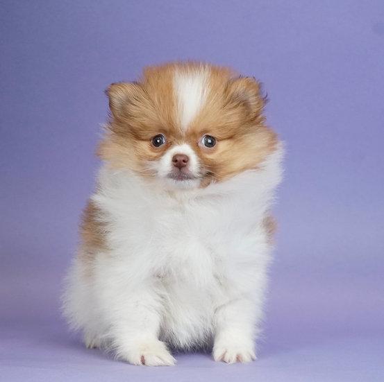 Ivy - Pomeranian - AKC Girl