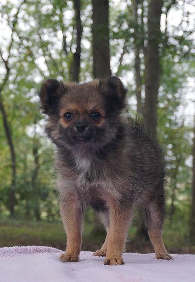 Piper - Pomeranian - Girl