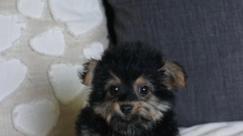Tiny Steven - Yorkiepoo