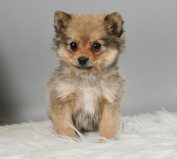 Squirt - Pomeranian - Boy