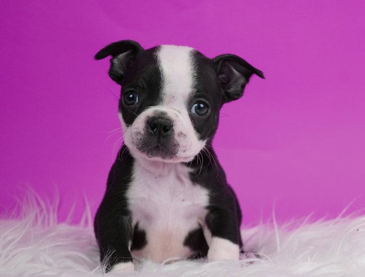 Donte - Boston Terrier - AKC - Boy