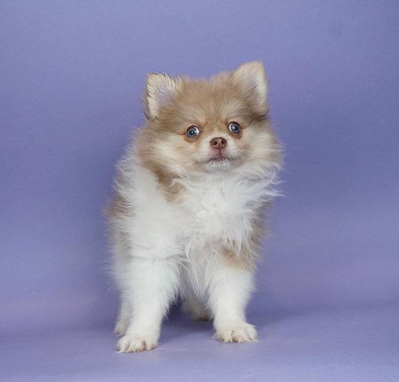 Wendy- Pomeranian- AKC-Girl