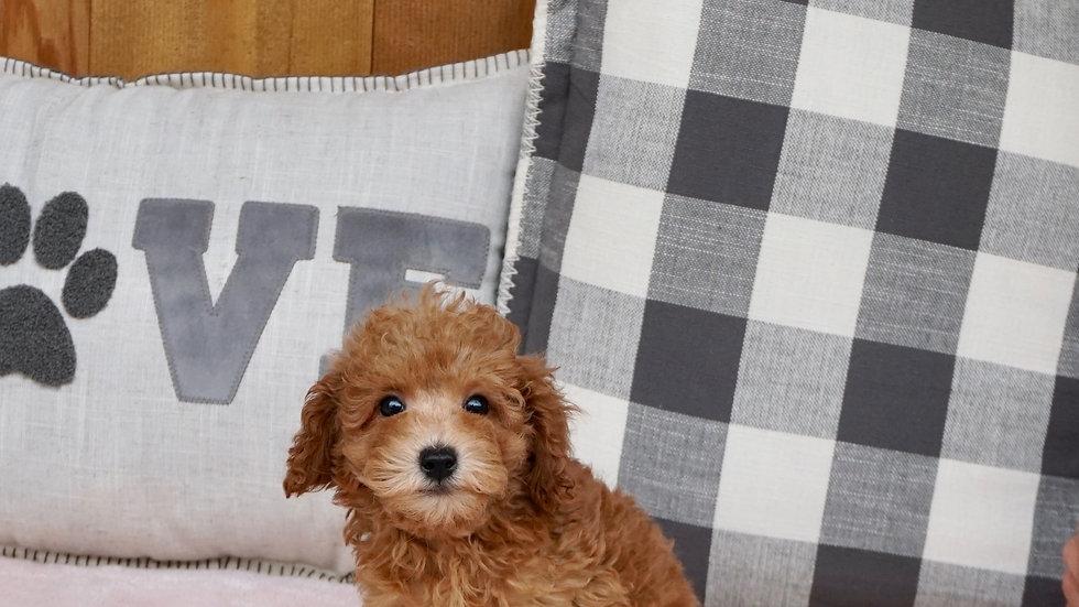 Poppy -  Miniature Poodle